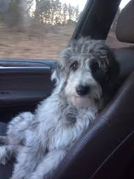 Do F1 Aussiedoodles Shed by Aussiedoodle Natural Look Haircut Dogs Pinterest Sheep Dogs