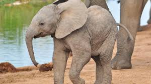 CUTENESS OVERLOAD Baby Elephant Tries To Swim In A Kiddie Pool