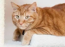 fatty liver cats fatty liver disease in cats petmd