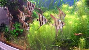 Just A Planted Aquarium With Pterophyllum Von Oliver Knott ... Aquascaping Artist Oliver Knott Scapingaquarium Pinterest Schwimmende Stein Steine Im Aquarium By Knott Youtube Aquascapi Sequa Interzoo 2012 Feat Chris Lukhaup Live Part 3 The Island Aquascape Step Aquariology With At The Koelle Zoo Heidelberg New Project Photo Editor Online And Editor Made Teil 1 Inspiration Tips Tricks Love Aquascaping Octopus Aquarium Via Aquac1ubnet