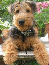 Airedale Terrier Non Shedding by 925 Best A I R E D A L E Images On Pinterest Airedale Terrier