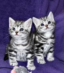 shorthair cat price american shorthair cats american shorthairs www silvershorthairs