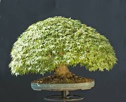 pot bonsai grande taille parlons bonsai le choix d un pot tenir compte des principes