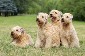 Do Wheaten Terriers Shed by 10 Most Popular Hypoallergenic Dog Breeds U2013 Iheartdogs Com