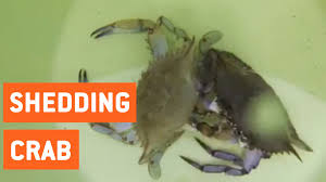 Do Hermit Crabs Shed Shell by Blue Crab Shedding New Shell New Me Youtube