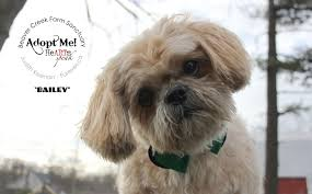 Shih Tzu Lhasa Apso Shedding by Senior Gentleman Shih Tzu Here U0027s Bailey U2013 Adopted Beaver Creek