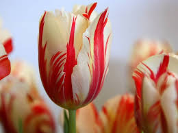17th century tulip bulb most expensive flowers dr tohid