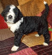 Portuguese Water Dog Non Shedding by South Creek Puppies