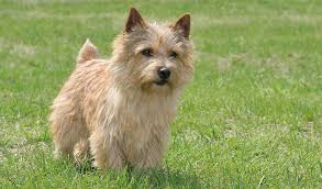 cairn terrier shed hair norwich terrier breed information