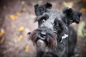 Do Giant Schnauzer Dogs Shed Hair by Schnauzer Breed Profile Australian Dog Lover