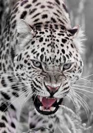 fantastic pic one beautiful cat wildlife in nature