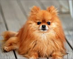 Small Dogs That Dont Shed Hair by Types Of Small Long Haired Dogs Breed Dogs Picture
