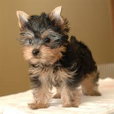 Morkies Do They Shed by Are Morkies Healthy Dogs U2013 About Morkies