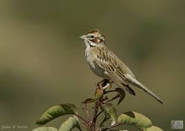 Lark Sparrow - Jay's Bird Barn Best 25 Sparrow Bird Ideas On Pinterest Sparrows Small Sparrow Pretty Birds House Urban Noise Killing Baby House Sparrows Bbc News Bird Sing Pennsylvania Barn Golondrina Canto Swallow Mike Powell Wedding Venue The White 23 Best Event Space Barn Images Weddings Tattoos By Chronoperates Deviantart For The Barn Wedding Dallas Planner Grit Baby Puffcat