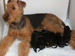 Do Airedale Puppies Shed by Follow The Piper Airedale Terriers