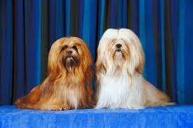 My Lhasa Apso Is Shedding Hair by Colors Of Lhasa Apsos Pets