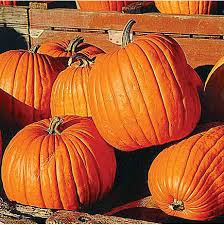 Real Pumpkin Patch Dfw by Elves Farm Christmas Trees And Pumpkin Patch Dallas Plano Frisco