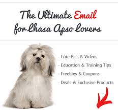 lhasa apso puppy shedding how bad do lhasa apsos shed advice from real lhasa apso owners