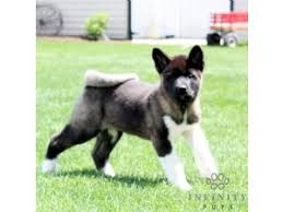 Do Akitas Shed Hair by Akita Breed Information U0026 Pictures Great Japanese Akita Inu