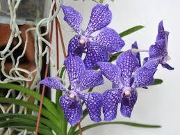 orchidée vanda culture entretien floraison
