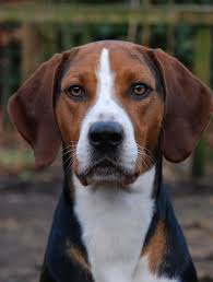 Do Black And Tan Coonhounds Shed by Black And Tan Virginia Foxhound One Of Four American Foxhound