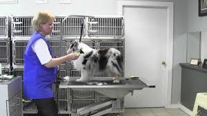Shedding Blade Vs Rake by Oster Small Dog Undercoat Rake Youtube