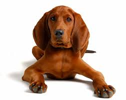 Vizsla Dog Breed Shedding by Redbone Coonhound Dog Breed Information Pictures Characteristics