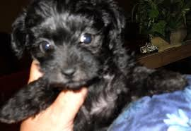 Morkies Do They Shed by 14 Morkies Do They Shed Dakota Country Kennels Labrador