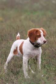 gun dog profile the brittany outdoor life