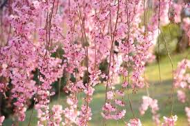 Prunus Pendula Weeping Cherry Spring Flowers White