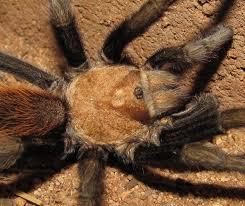 Do Tarantulas Shed Their Legs by Bug Eric Spider Sunday Arizona Blonde Tarantula