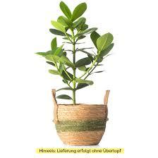 zimmerpflanze clusia princess ohne übertopf clusia princess grün 17x50