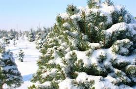 Kinds Of Christmas Trees by Pick The Perfect Christmas Tree This Year