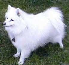 Toy American Eskimo Dog Shedding by Miniature American Eskimo Dog Breeds And Photos And Videos List