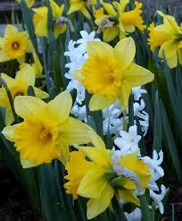 narcissus rijnveld s early sensation trumpet daffodils