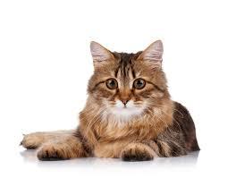 cat dental care driggs veterinary clinic veterinarian in driggs id usa cat