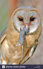 Mouse Stock Photos & Mouse Stock Images - Alamy Usda Studying Iowa Rodents For Avian Flu Public Radio Subtle Elegancebarn Owl Canvas Print Art By Catherine Dubuque County Part Of Barn Owl Boom As Orphaned Owlets Find Home J Thaddeus Ozarks Cookie Jars And Other Larks Love These Meeces Deer Mice Mouse Control Rats New York Stock Photos Images Alamy Barn Cat Traing To Hunt Mice Youtube Tyto Alba Family Tytonidae Parent Bird Bring Its Removal Houston Dallas Fworth 911 Wildlife