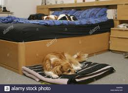 dogs in bedroom hunde in schlafzimmer stock photo alamy