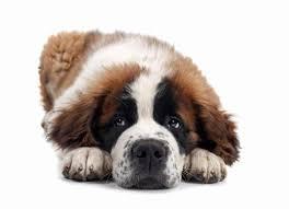 Do Smooth Coat St Bernards Shed by Saint Bernard Dog Breed Information Noah U0027s Dogs