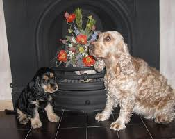 Welsh Springer Spaniel Shedding by English Cocker Spaniel Dog Breed Puppies Animals Pinterest