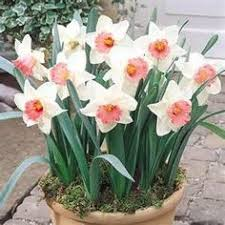 cluster daffodils bridal crown planting some of these in a