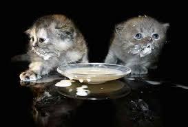cats and yogurt can cats eat yogurt because cats