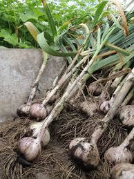 growing garlic otus branch farm