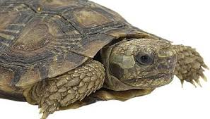 what does it mean when a turtle sheds animals mom me