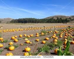 Pumpkin Patch Half Moon Bay Ca by Half Moon Bay Pumpkins Stock Images Royalty Free Images U0026 Vectors