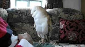 Barn Owl - YouTube 55 Best Owl Images On Pinterest Barn Owls Children And Hunting Owls How To Feed Keep An Owlet Maya A Brief Introduction The Common Types Of Six Reasons Why You Dont Want An Owl As Pet Bird Introducing Gizmo Baby Whitefaced Youtube 2270 Animals 637 Oh Meine Uhus I Love Owls My Barn Cat Baby By Disneyqueen1 Deviantart All Things Nighttime Predator Cute Animals