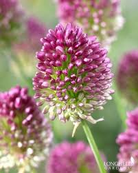 allium bulb of the year 2016 the garden diaries