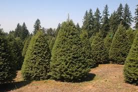 Nordmann Fir Christmas Tree by Rickels U0027 Tree Farm