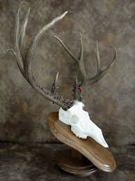 Mule Deer Sheds On Solid Cast Resin Replica Skull. | Skulls ... 735 Best Skull Love Images On Pinterest Drawing And Art Bobby Fierro Dave Violette Blog Skulldiggery Many Fun Funky Ideas In The Garden Of Tiffany Homedecoration Skulls Skeleton Backyard My Pinterest Posts The Horned Beast Sculpture Palace Sykes 74 Skulls Antlers Artwork Theres A Hidden Theme In This Years Big Brother House Take Tching Post Idea I Showed It With Cacti Which Is Em Corsa Backyard Wild March 2014 42 Airbrushing Sheds Pop S Formation Creation Inc Sets