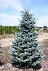 Elgin Christmas Tree Farm Pumpkin Festival by 7 Best Christmas Tree Varieties Images On Pinterest Christmas